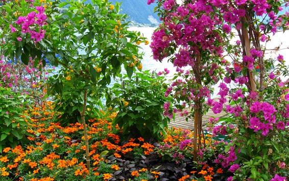 Wallpaper Pink bougainvillea, beautiful flowers, garden