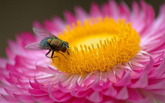배경 화면 핑크 꽃, 꽃잎, 파리, 곤충