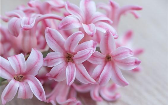 Fond d'écran Macrophotographie de jacinthe rose, pétales
