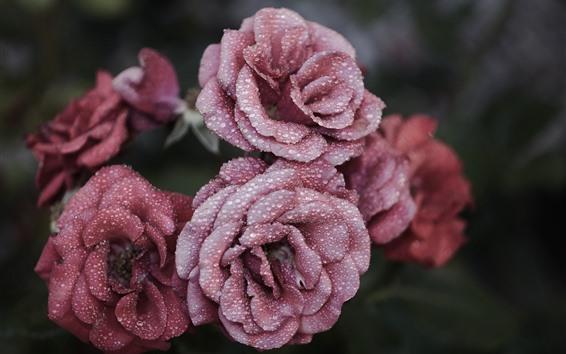 壁紙 ピンクのバラ、水滴、かすんでいる