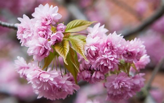 Обои Розовые цветы сакуры, веточки, весна, красивые цветы