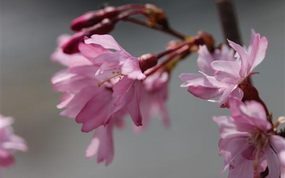 Обои Розовая сакура крупным планом, цветы, весна