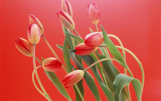 Wallpaper Pink tulips, red background