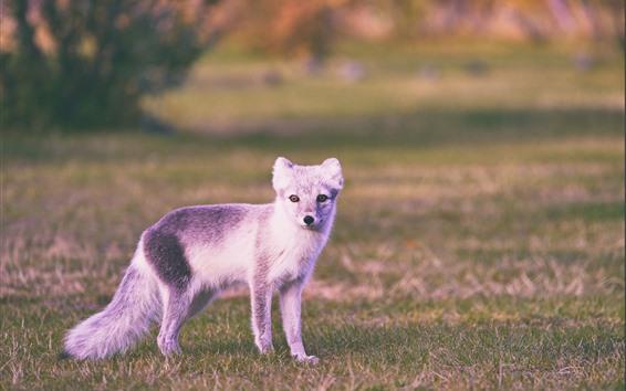 Papéis de Parede Raposa polar, animal fofo