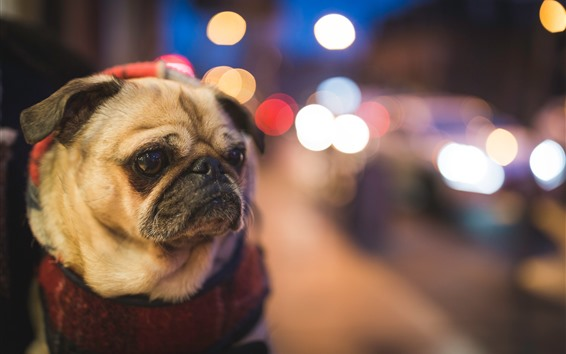 Wallpaper Pug dog, bright circles