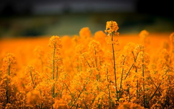 배경 화면 유채 꽃, 황금빛, 봄