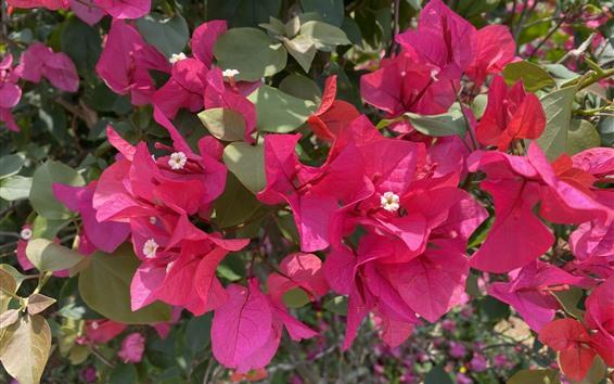 Wallpaper Red flowers, bougainvillea, park