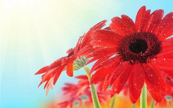 Papéis de Parede Gerbera vermelha close-up, pétalas, gotas de água