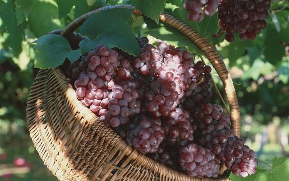 Обои Красный виноград, фрукты, корзина, урожай