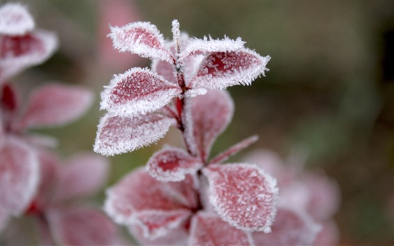 Wallpaper Red leaves, frost, ice crystal, winter