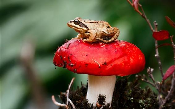 Papéis de Parede Cogumelo vermelho, sapo, sapo