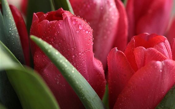 Обои Красные тюльпаны крупным планом, капли воды