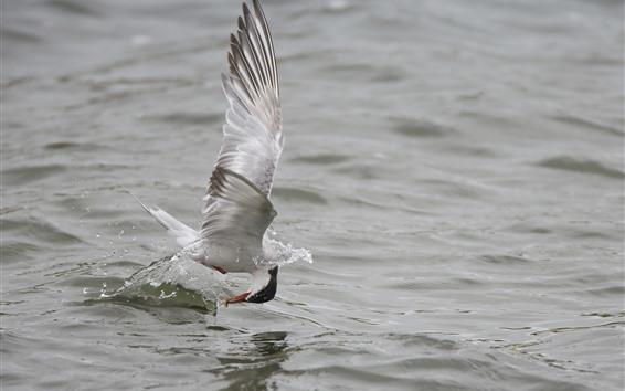 Обои Чайка ловит рыбу, озеро, вода