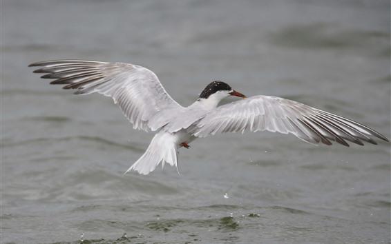 Wallpaper Seagull, flying, wings, sea