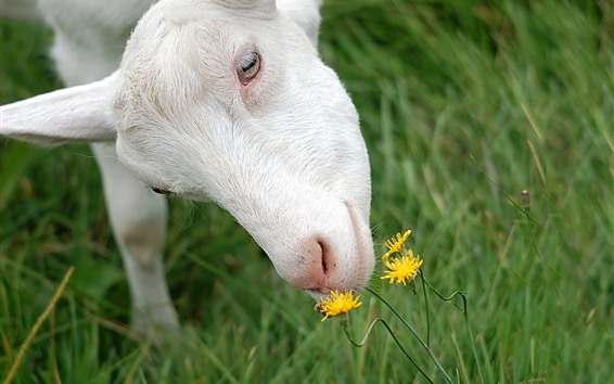 Wallpaper Sheep and yellow flowers