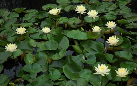 Papéis de Parede Algumas flores de lírios de água branca, lagoa