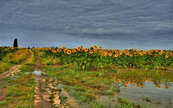Wallpaper Sunflowers field, water, summer, clouds