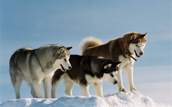 Wallpaper Three dogs, husky, snow
