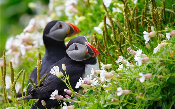 Wallpaper Two puffins, flowers