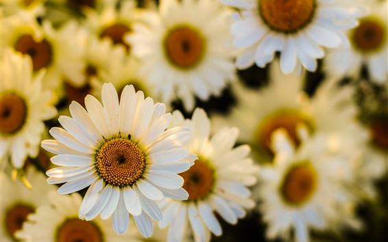 배경 화면 화이트 데이지, 많은 꽃