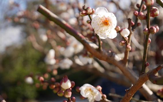 Wallpaper White plum flowers bloom, twigs, spring