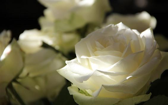 Wallpaper White rose close-up, petals, light