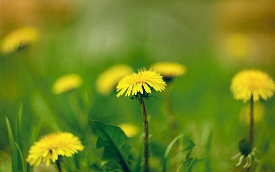 Обои Жёлтые одуванчики цветы макро фотография, весна