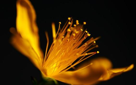 Обои Макрофотография желтый цветок, пестик, черный фон