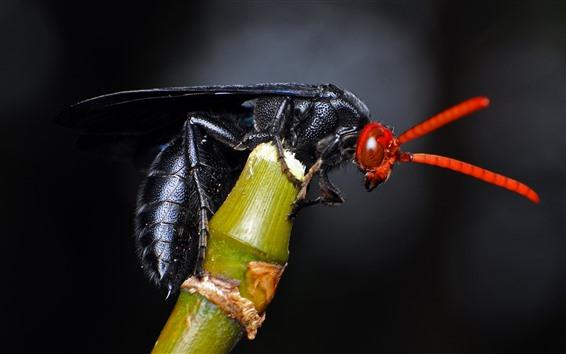 Papéis de Parede Abelha preta, inseto