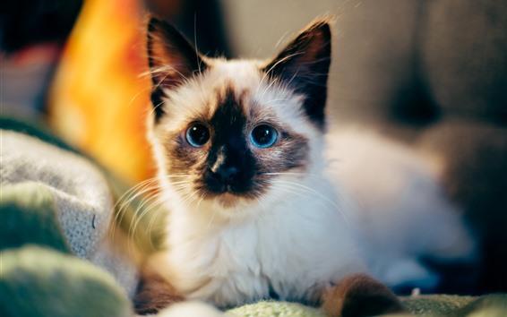 Обои Милый пушистый котенок, голубые глаза
