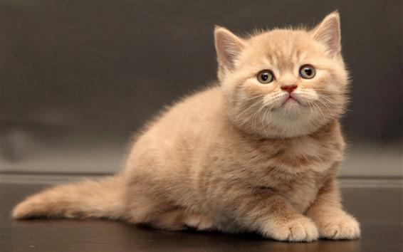 Обои Милый пушистый котенок, взгляд, домашнее животное