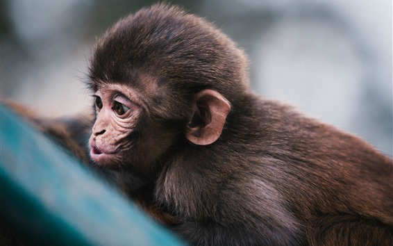 Wallpaper Cute little monkey, look