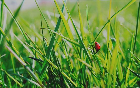Papéis de Parede Grama verde, joaninha, verão