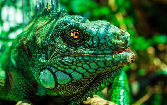 Papéis de Parede Iguana verde, cabeça, olhos