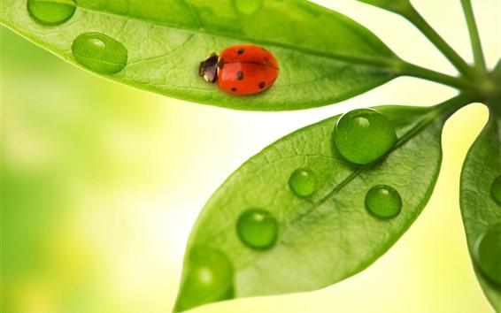 Papéis de Parede Folhas verdes, joaninha, gotas de água