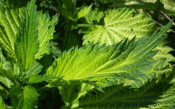 Wallpaper Green nettle leaves close-up, plants