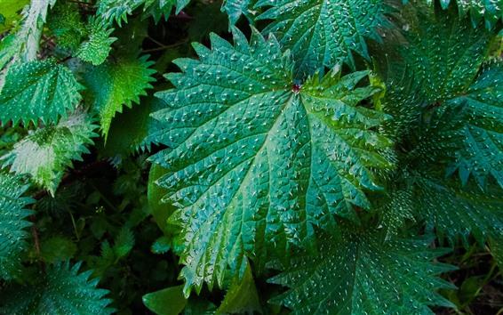 Обои Зеленые листья крапивы