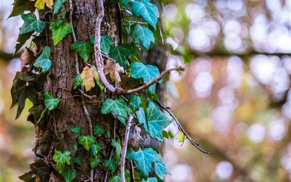 Обои Плющ, зеленые листья, ствол