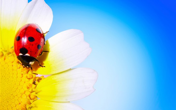 Wallpaper Ladybug, daisy, petals, blue background