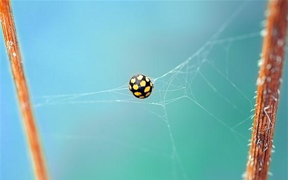 Wallpaper Ladybug, web, insect