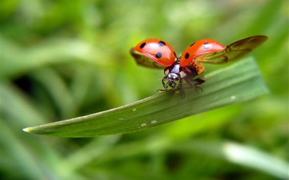 Wallpaper Ladybug, wings, green leaves