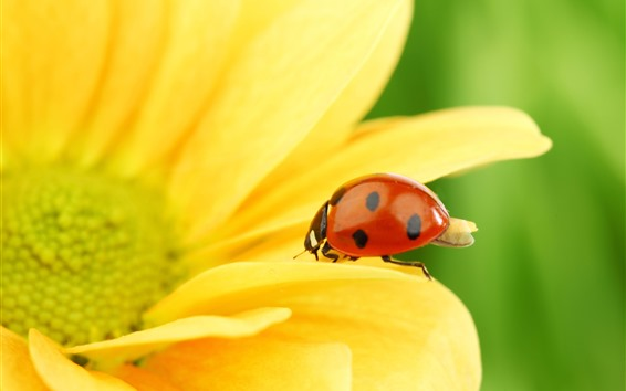 Wallpaper Ladybug, yellow petals, flower