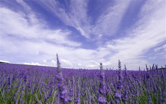 배경 화면 라벤더 밭, 보라색 꽃, 하늘, 구름