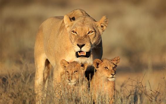 壁紙 ライオンの家族、子供、茂み