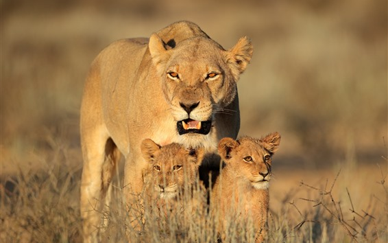 Fondos de pantalla Familia de leones, cachorros, arbustos