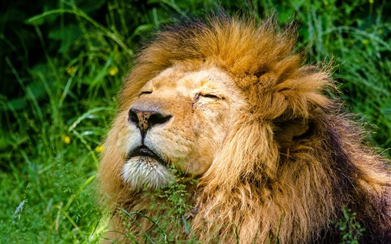 Wallpaper Lion sleep, mane, grass