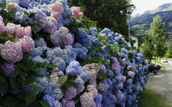 Wallpaper Many hydrangea, colorful flowers, village
