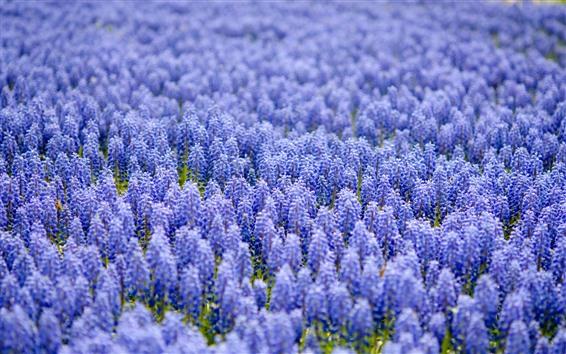 Обои Многие фиолетовые цветы мускари