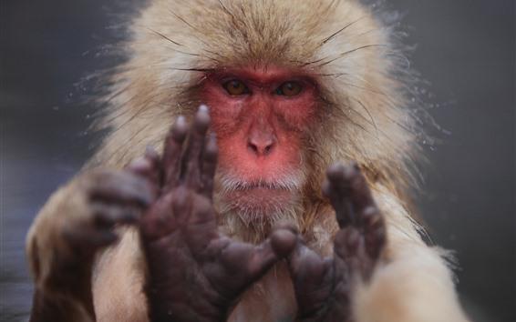 Fondos de pantalla Mono, mira, cara, manos