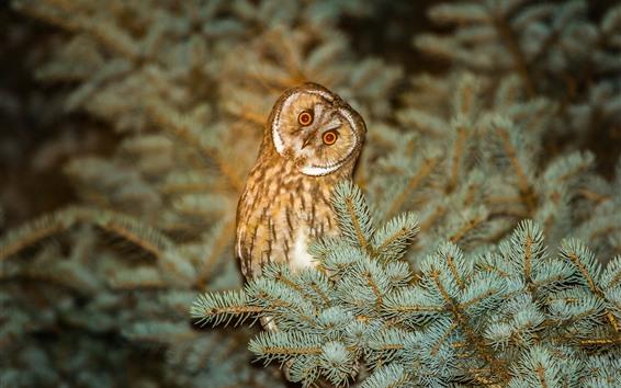 Wallpaper Owl, pine, night